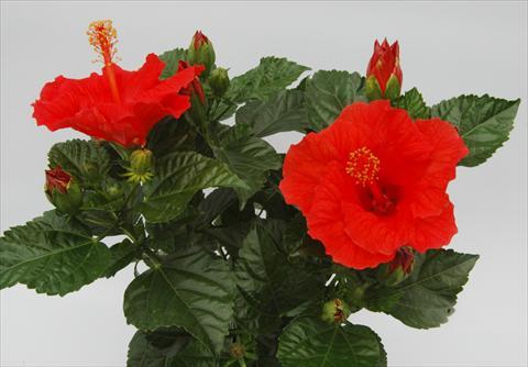 pot et plante massif hibiscus rosa sinensis sunny. Black Bedroom Furniture Sets. Home Design Ideas
